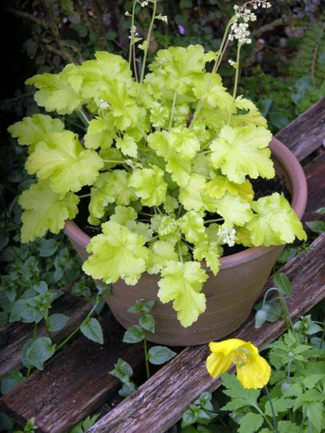 Heuchera 'Lime Marmalade' - I've taken some of this one for my garden