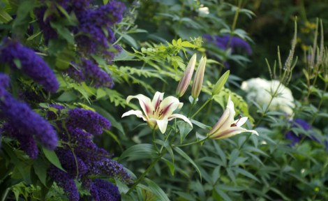 lily-border-aug