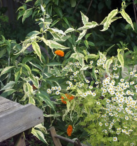 My-new-buddleja