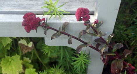 sedum-red-cauli