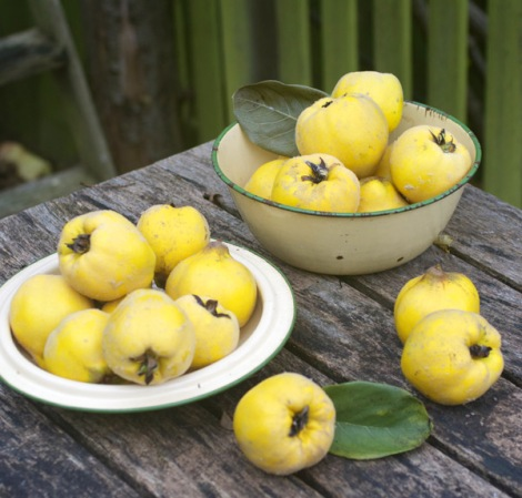 picked-quinces