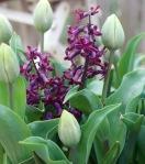 black-hyacinths