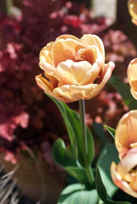open-tulip