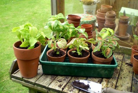 coleus-potted
