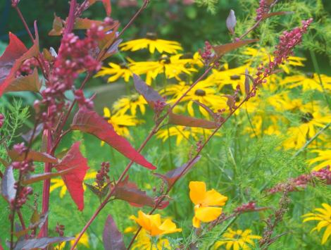 rudbekia-and-red-orach