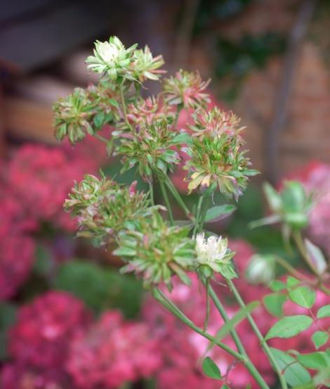 rose-viridiflora-2