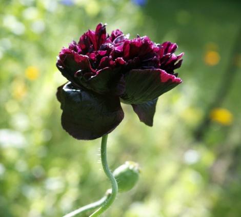 opium-poppy-black-peony2