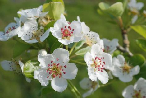 cornish-apple-blossom